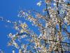 21.03.2011 blauer Himmel - weiße Blüten