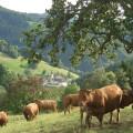 Grasende Kühe